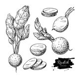 Radish hand drawn vector illustration set. Isolated Vegetable engraved style object with sliced pieces. Stock Photography