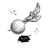 Radish hand drawn vector illustration.  Vegetable engraved style object wirh sliced pieces. Royalty Free Stock Photo