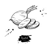 Radish hand drawn vector illustration.  Vegetable engraved style object wirh sliced pieces. Stock Image
