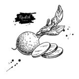 Radish hand drawn vector illustration.  Vegetable engraved style object wirh sliced pieces. Stock Photos