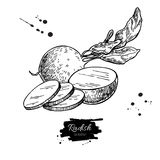 Radish hand drawn vector illustration.  Vegetable engraved style object wirh sliced pieces. Royalty Free Stock Photos