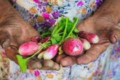 Radish Harvest. Dirty hands holding freshly picked radish from an organic garden Royalty Free Stock Photos