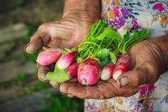 Radish Harvest. Dirty hands holding freshly picked radish from an organic garden Royalty Free Stock Photo