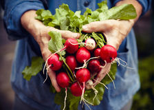 Radish harvest. In farmer hands Royalty Free Stock Photo
