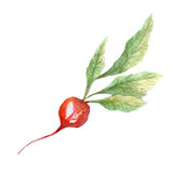 Radish illustration. Hand drawn watercolor on white background. Stock Photography