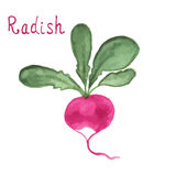 Radish with leaf. Hand drawn watercolor painting. Radish salad with leaf isolated on white background. Hand drawn watercolor. Vector illustration Royalty Free Stock Photography