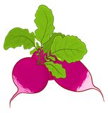 Radish with leaves Royalty Free Stock Image