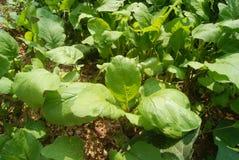 Radish leaves Stock Images