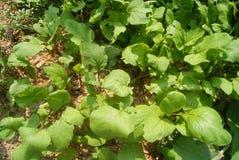 Radish leaves Stock Photo