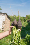 Radish. Man holds in his hand a black radish Royalty Free Stock Photo