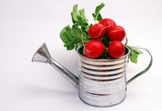 Radish in metal watering can Royalty Free Stock Image