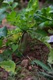Radish no jardim Imagens de Stock Royalty Free