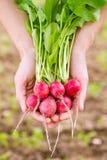 Radish orgânico fresco fotografia de stock