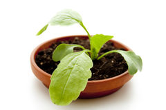 Radish plant Royalty Free Stock Image