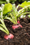 Radish plants in the garden Royalty Free Stock Photography