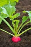 Radish que cresce no solo Imagem de Stock