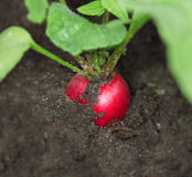 Radish. Red radish in the ground Royalty Free Stock Photography