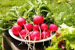 Radish red in the white plate. Fresh radishes with green tops on a background of grass and leaves of lettuce Royalty Free Stock Photos
