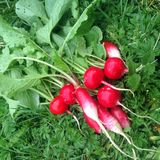 Radish. Red with white tails radish just assembled from the bed and lying on the grass in the village`s vegetable garden. A healthy dietary food rich in vitamins Royalty Free Stock Photography