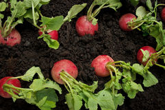 Radish row in vegetable field Royalty Free Stock Images