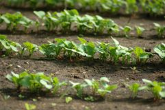 Radish seedling rows in spring. stock images