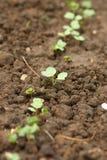 Radish seedlings Royalty Free Stock Image