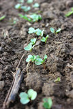 Radish seedlings Royalty Free Stock Images