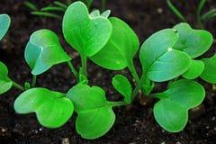 Radish Seedlings. Newly sprouted radish seedlings in fresh soil Royalty Free Stock Photos