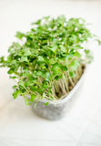 Radish seedlings. Radish organic sprouting seedlings, fresh and healthy Stock Photos