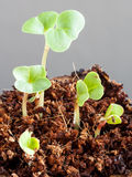 Radish seedlings (raphanus sativus) - one week young sprouts Stock Photography