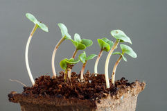 Radish seedlings (raphanus sativus) - one week young sprouts Stock Photo