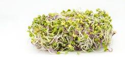 Radish. Several young shoots of fresh radish sprouts Stock Photos