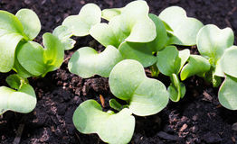 Radish sowing to go Stock Photography