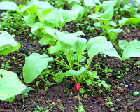 Radish sowings. Which are grown in the garden Royalty Free Stock Photos