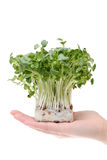 Radish sprout on the hand Stock Images