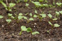 Radish sprout in vegetable garden Stock Photo