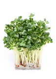 Radish sprout. On a white background Royalty Free Stock Photo