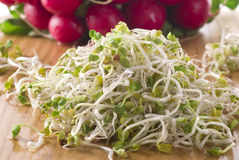 Radish Sprouts Stock Image