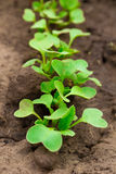 Radish sprouts Royalty Free Stock Photos