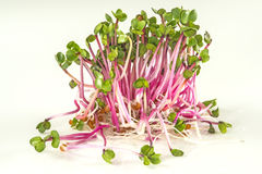 Radish sprouts Royalty Free Stock Photography