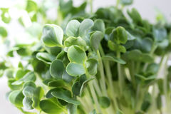 Radish Sprouts Stock Photo
