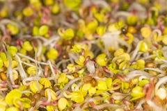 Radish sprouts, closeup royalty free stock photo