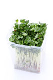 Radish sprouts. In a plastic container on white background Stock Photos
