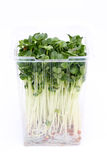 Radish sprouts. In a plastic container on white background Royalty Free Stock Photography
