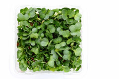 Radish sprouts. In a plastic container on white background Stock Photo