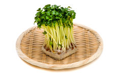 Radish sprouts-Raphanus sativus. This image is available for clipping work Royalty Free Stock Photography