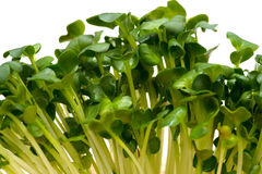 Radish sprouts-Raphanus sativus Royalty Free Stock Photo