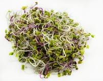 Radish sprouts. On white background Royalty Free Stock Photo