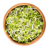 Radish sprouts in wooden bowl over white. Radish sprouts in wooden bowl. Fresh yellow green germinated seeds of the root vegetable Raphanus sativus. Prominent Royalty Free Stock Photo