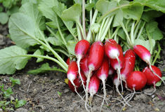 Radish stack Royalty Free Stock Photos